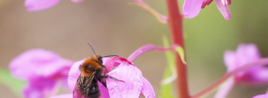 bee on a fireweed