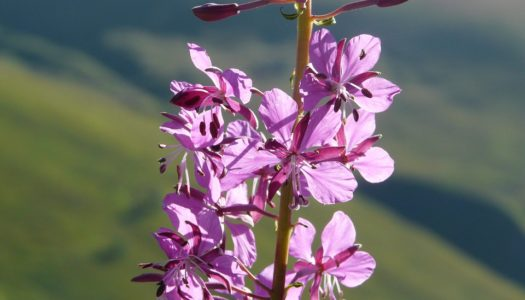 Why Fireweed Honey?